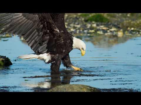 Awesome Bald Eagle Photos by Christian Sasse
