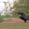 eaglet-thumb-1