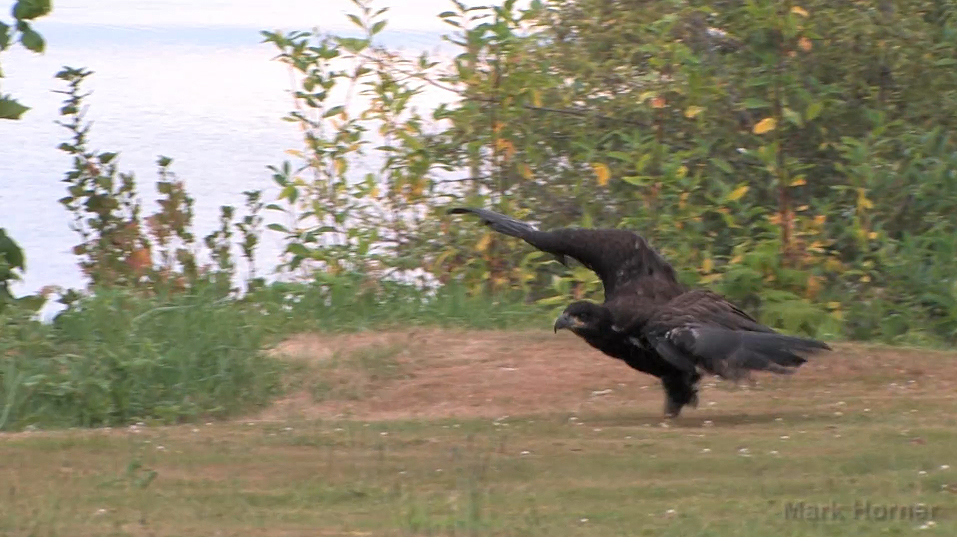 Video captures young Bald Eagle's struggle to survive