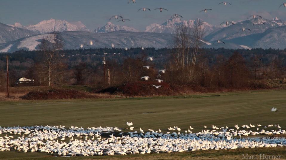 VIDEO: Snow Geese arriving in farm field