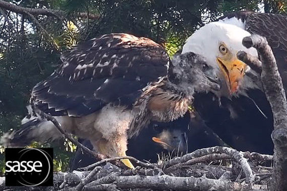 An adult bald eagle with eaglet and hawklet in a nest located on Vancouver Island, Canada.