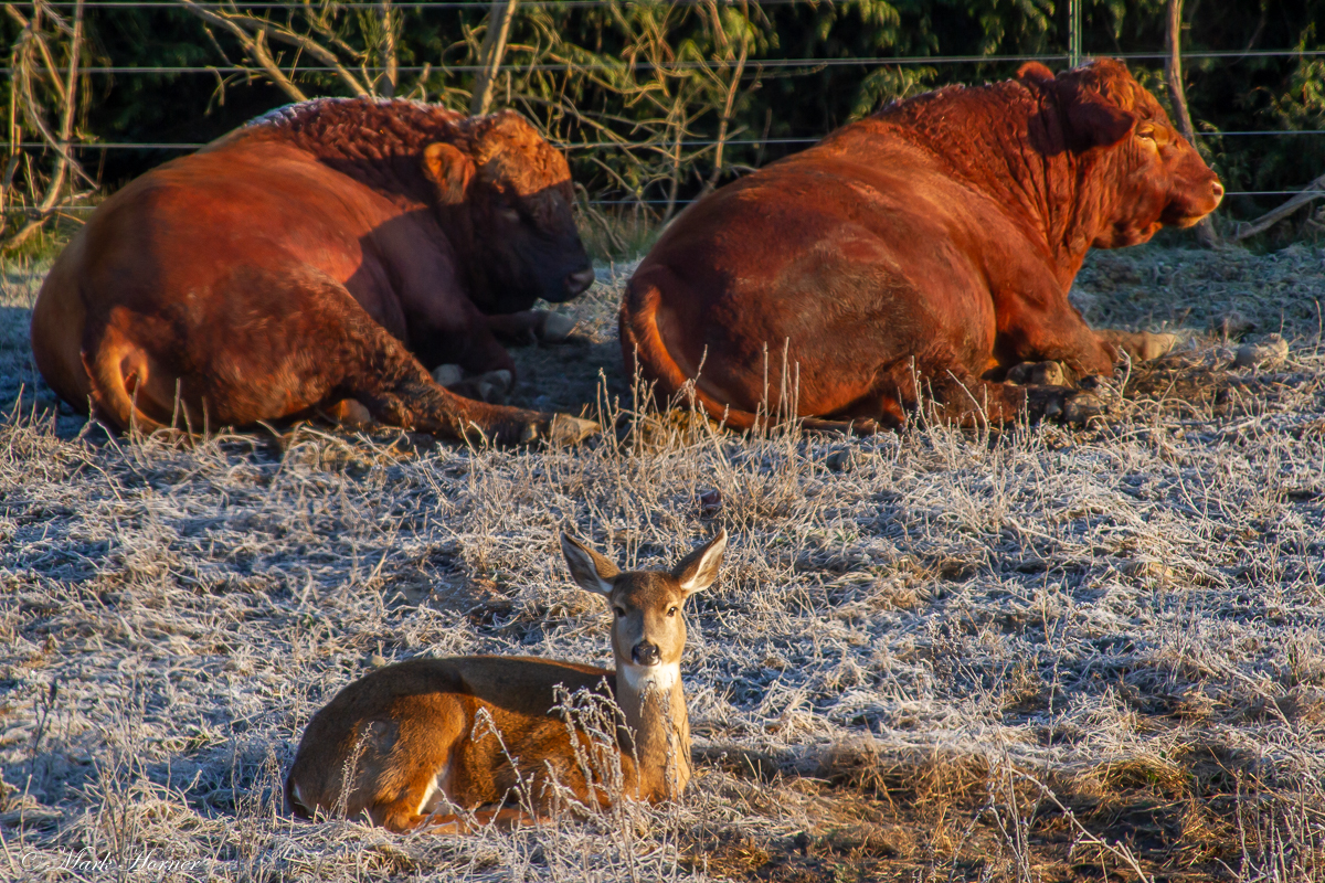 Enchanting photo features deer resting with cattle